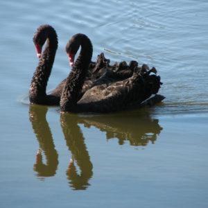 Cigno nero australiano - F.Bulgarini
