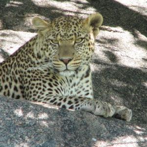 Leopardo - F.Bulgarini