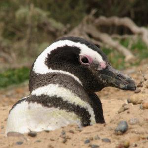 Pinguino di magellano - F.Bulgarini