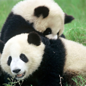 Ailuropoda melanoleuca Giant panda Chengdu Breeding Centre Chengdu,  Sichuan Province,  China